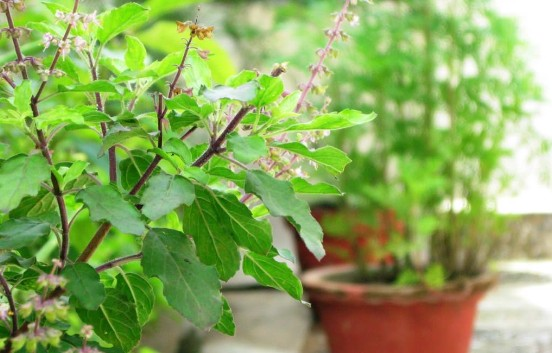 Health Benefits & Uses of Holy Basil (Tulsi)