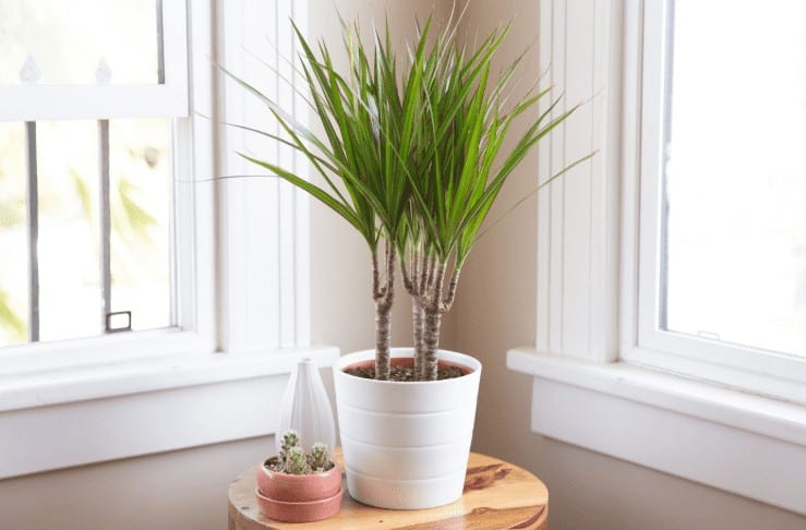 Dracaena or Dragon Tree air purifier plant