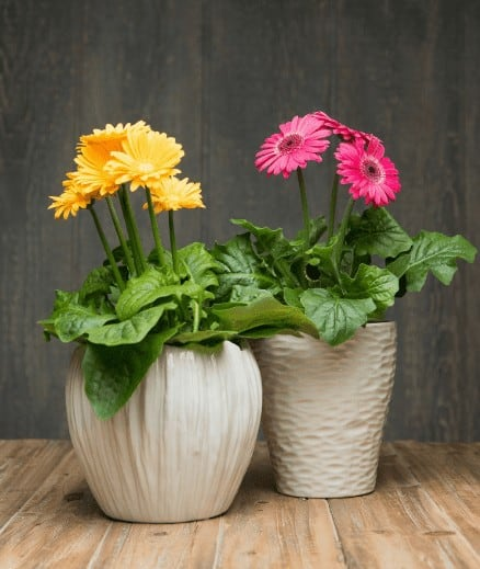 Gerbera Daisy air purifier plants