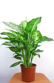 chinese evergreen plant, air purifiers