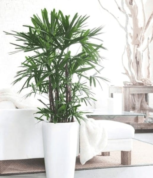 lady palm for air purifiers